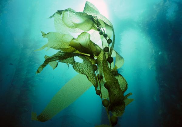 荷兰人曾经因种花闻名世界,如今却试图将海藻做成大产业,他们在下一盘什么棋?荷兰人善于向海洋要资源:他们向海洋要土地,填海建城,拥有全世界公认的填海工程技术之冠。他们擅长治水建坝,其举世瞩目的三角洲防洪大坝工程,自建成起一直为全球最大的防洪计划,被誉为世界七大工程奇迹之一。 如今,利用海藻 ,荷兰又走到了世界的前端。长久以来,西方人对海藻的认知仅限于包裹寿司的卷皮或是亚洲菜肴的成分,欧美人对海藻的使用远不及亚洲人。近年来,欧美开始出现海藻保健品,如螺旋藻片剂,但海藻的用途远不止此。它可以是优质蛋白、脂肪酸